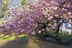 Colorful Pink Blooms Abound Everywhere In Central Park Each Spring