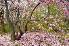 Magnolia Tree-Pink Blossoms