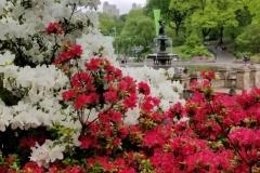 Bethesda Fountain Thru Vibrant Azaleas