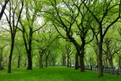 Beautiful American Elm Trees On The Mall