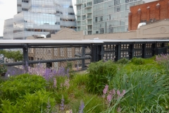Contrast Of High Line Flowers Against Modern Buildings That Surround It