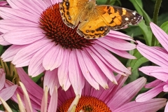 High Line-Moth Atop Pink Coneflowers